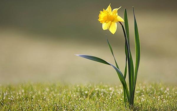 زهرة النرجس.